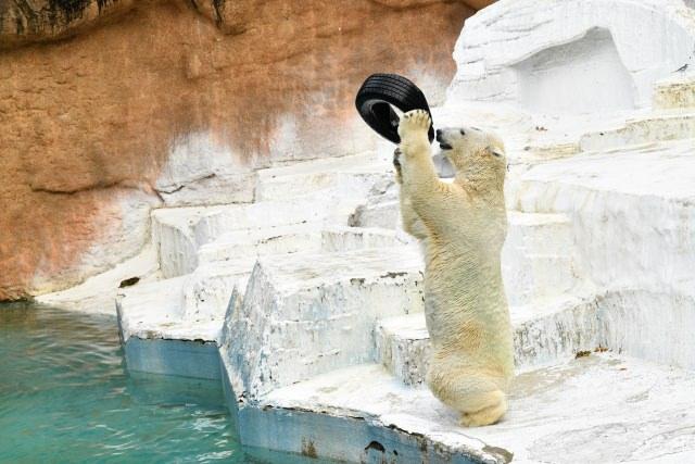 タイヤで遊ぶシロクマ